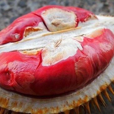 Cara Budidaya Buah Durian Agar Berbuah Lebat Dengan Produk Nasa